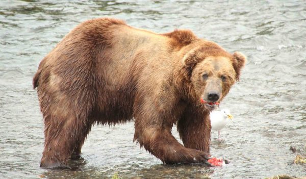 Grizzly bear catching fish in water
