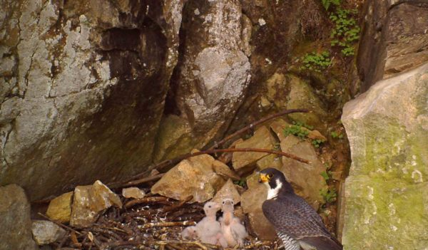 A mother falcon with her fledglings nested in a rock crevice.