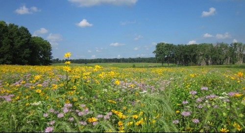 A diverse prairie that includes native plant species such Bee Balm, Wild Quinine, False Sunflower, and Canada Wild Rye.