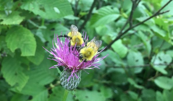 Bees on a Marsh Thistle
